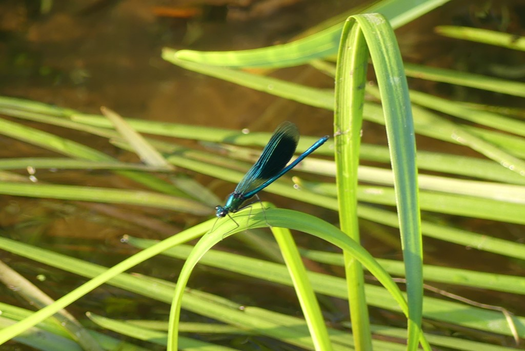 Blåbåndet Pragtvandnymfe (Calopteryx splendens)