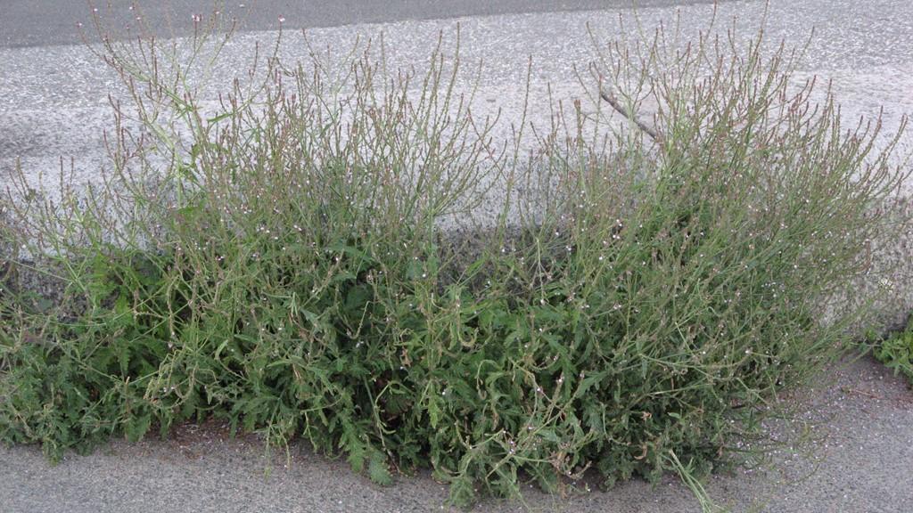 Foto/billede af Læge-Jernurt (Verbena officinalis)