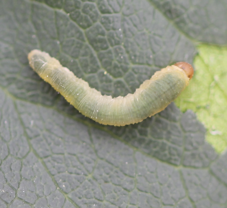 Foto/billede af Slimet Rosenbladhveps (Endelomyia aethiops)