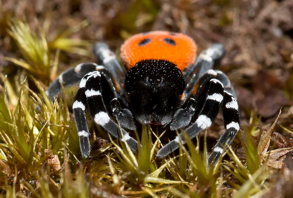 Foto/billede af Mariehøneedderkop (Eresus sandaliatus)