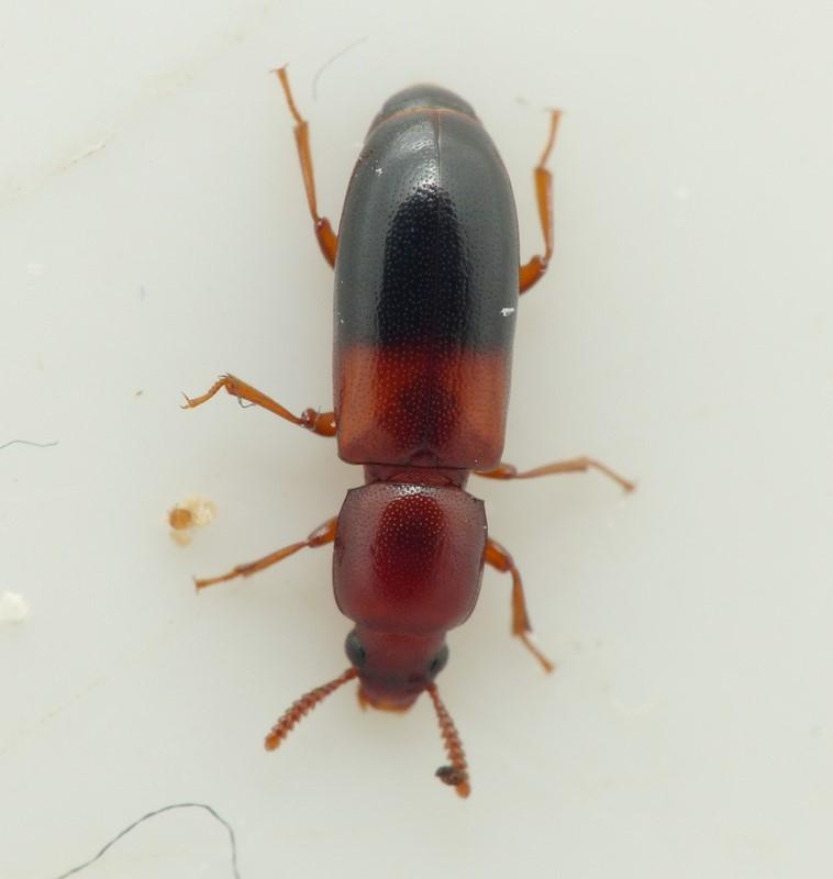 Corticeus bicolor