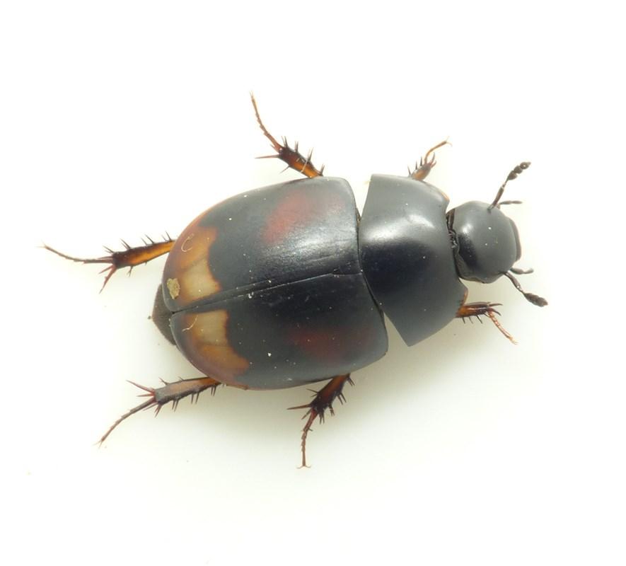 Rødplettet Møgkær (Sphaeridium scarabaeoides)
