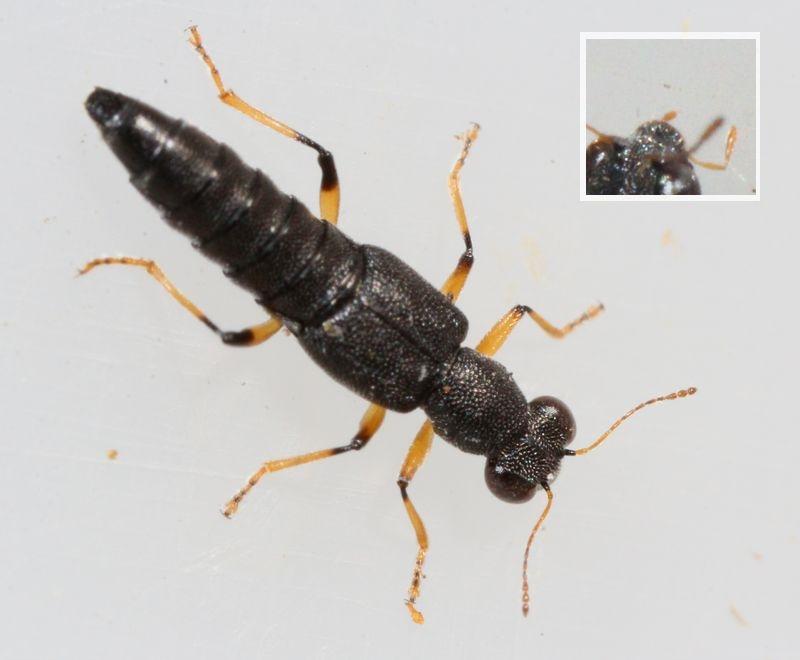 Foto/billede af Stenus similis (Stenus similis)