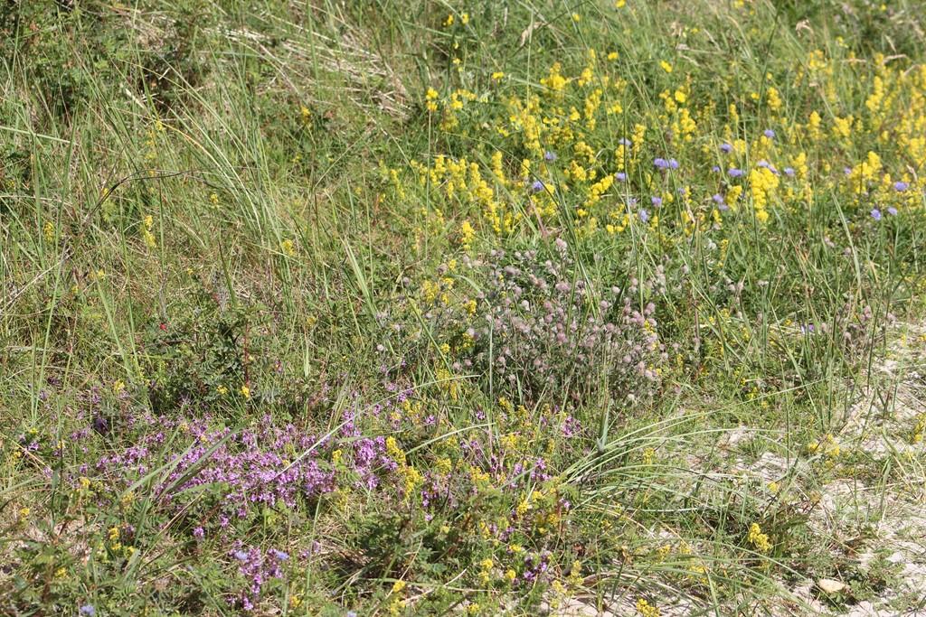 Foto/billede af Smalbladet Timian (Thymus serpyllum)