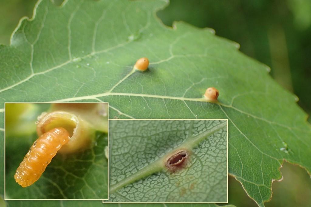 Harmandiola globuli