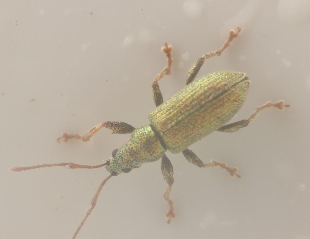 Foto/billede af Bøgeløvsnudebille (Phyllobius argentatus)