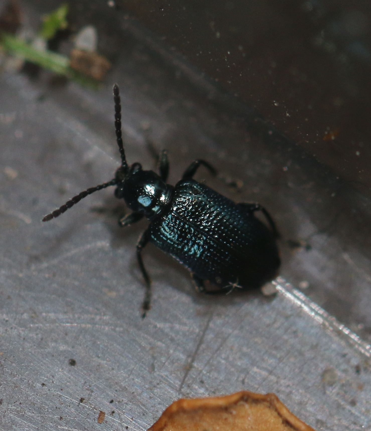 Sortblå Kornbladbille (Oulema gallaeciana)