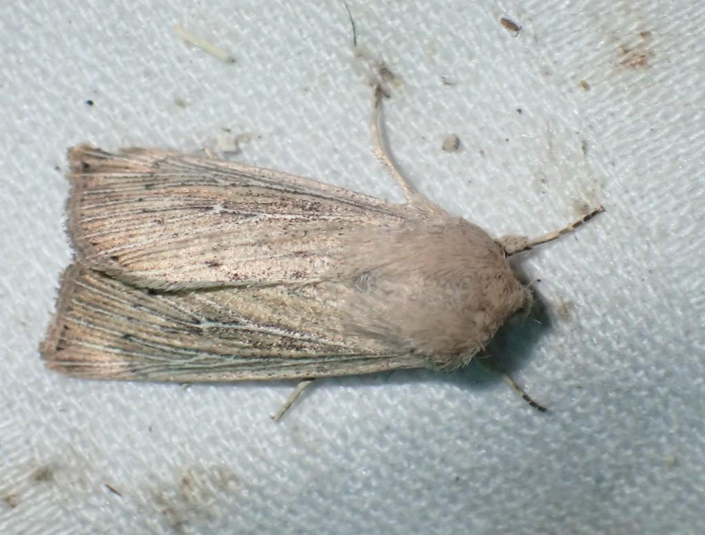 Foto/billede af Sortprikket Græsugle (Leucania obsoleta)