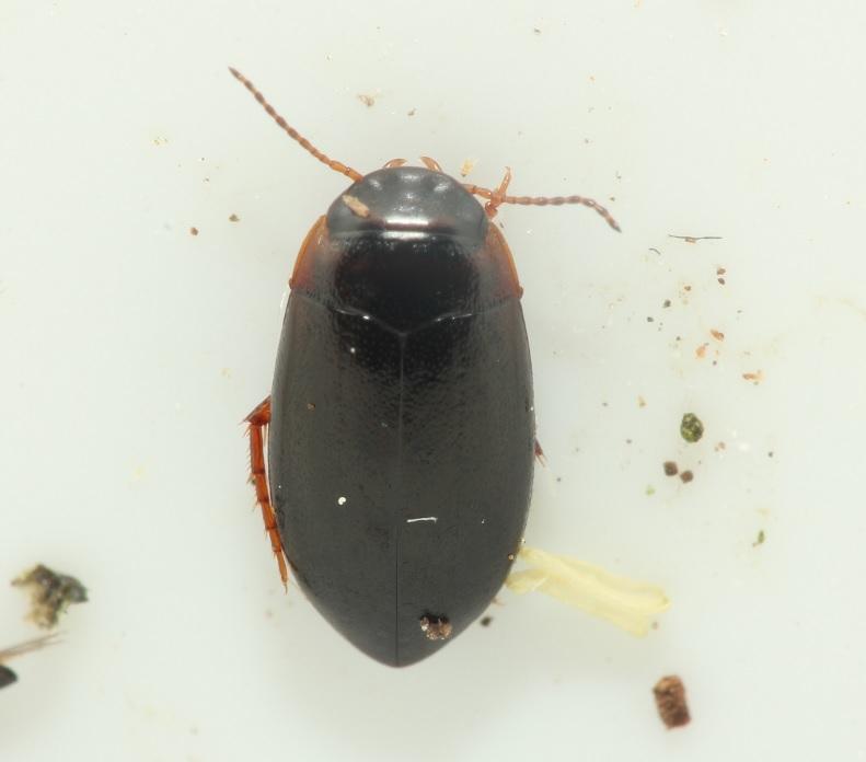 Hydroporus memnonius (Hydroporus memnonius)