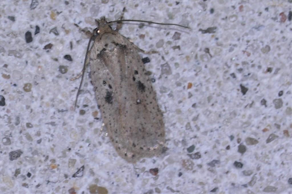 Agonopterix yeatiana