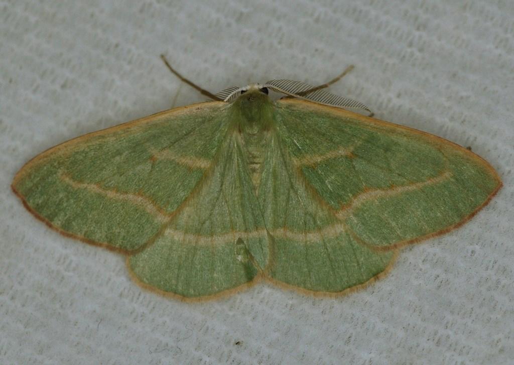 Nåleskovs-Måler (Hylaea fasciaria)