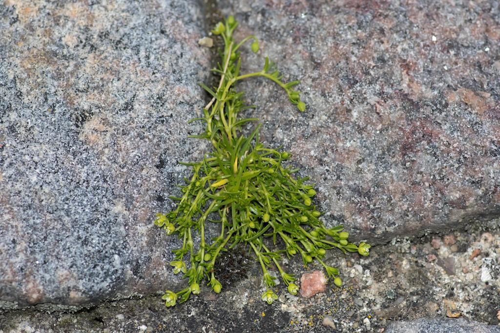 Foto/billede af Almindelig Firling (Sagina procumbens)