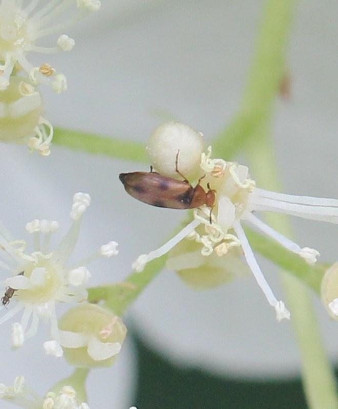 Sortplettet Spidshale (Anaspis maculata)