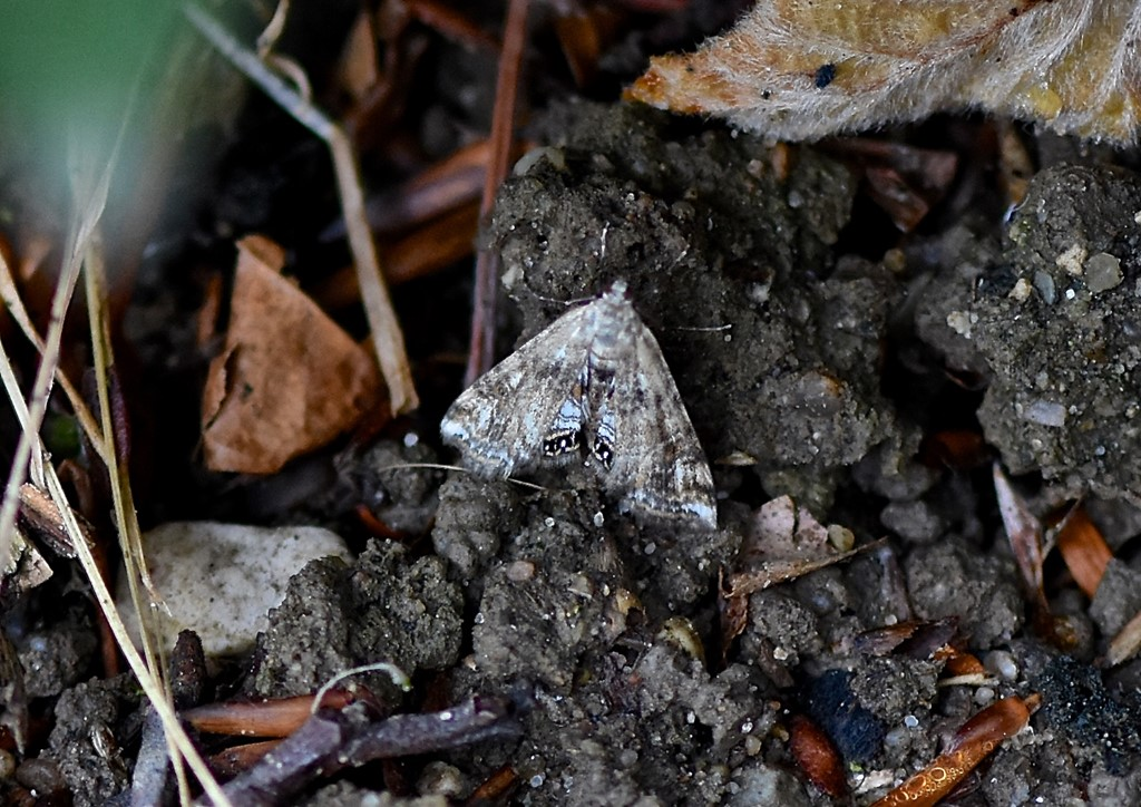 Foto/billede af Andemadhalvmøl (Cataclysta lemnata)
