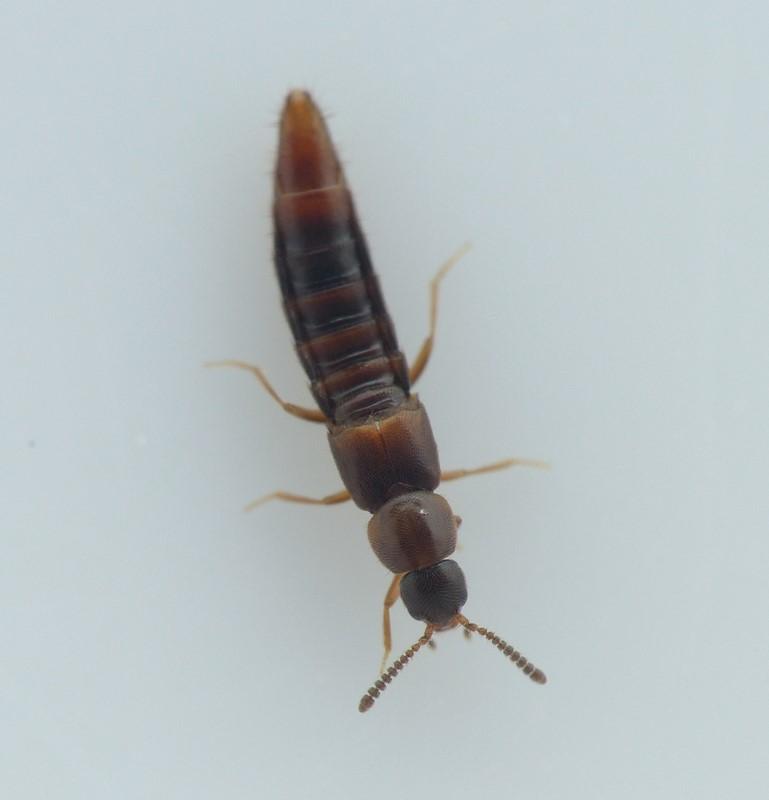 Oxypoda haemorrhoa