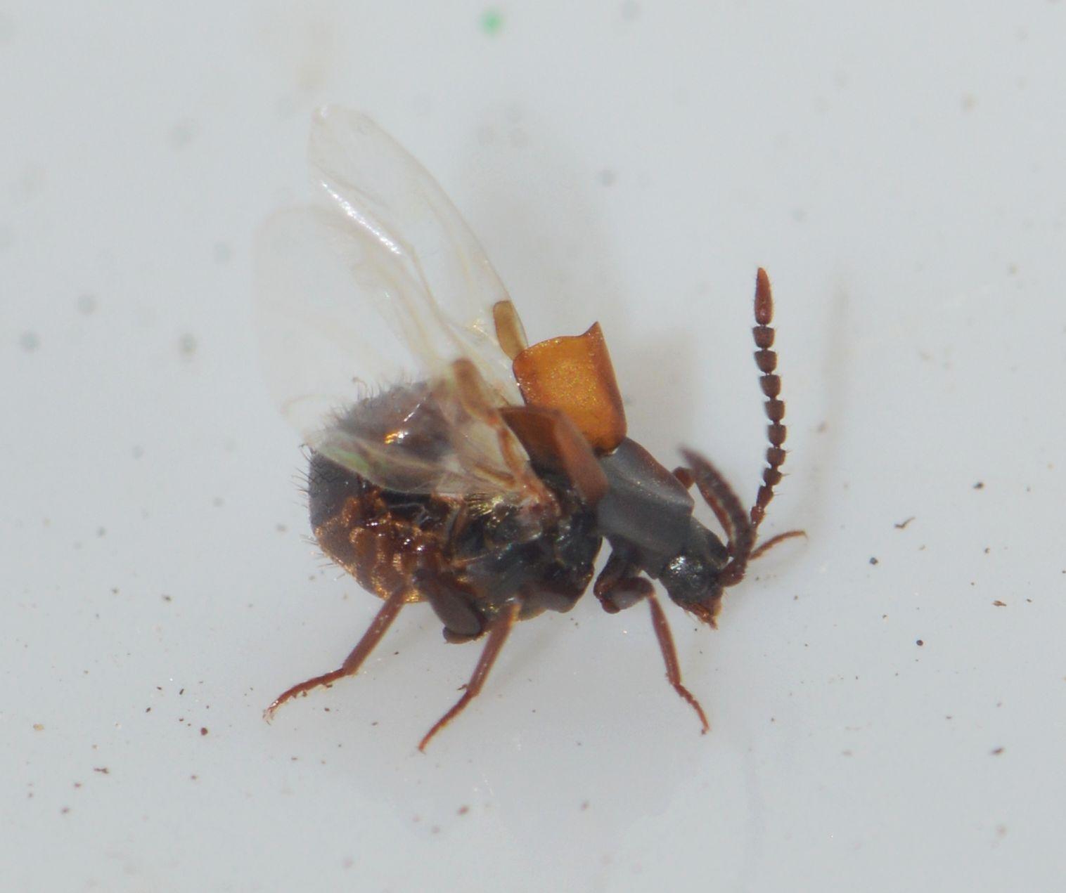 Foto/billede af Almindelig Gæsterovbille (Lomechusa emarginata)