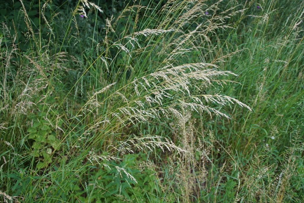 Draphavre (Arrhenatherum elatius)