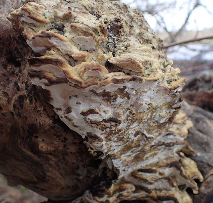 Foto/billede af Poppelporesvamp (Oxyporus populinus)