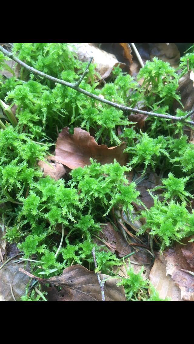 Foto/billede af Udspærret Tørvemos (Sphagnum squarrosum)