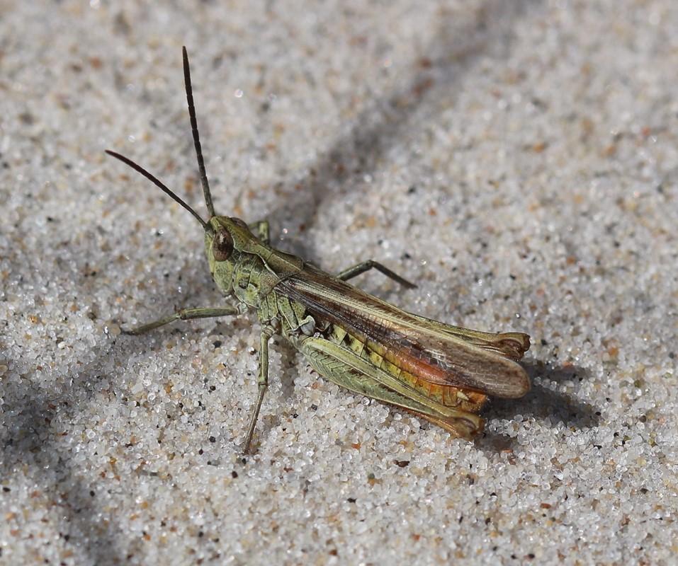 Foto/billede af Jysk Markgræshoppe (Chorthippus jutlandica)