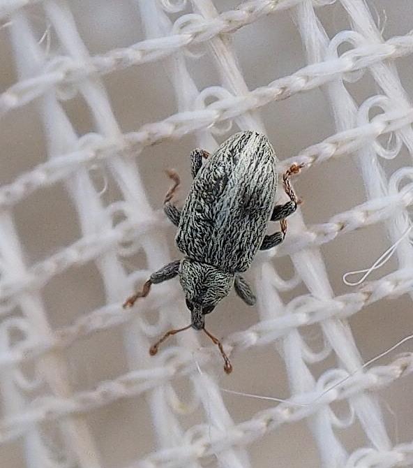 Ellescus bipunctatus (Ellescus bipunctatus)