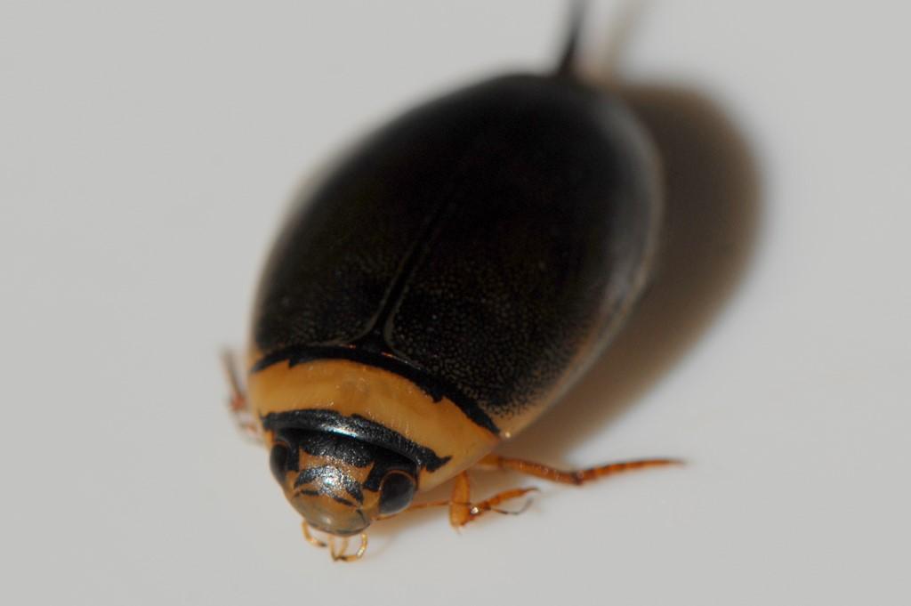 Lys Skivevandkalv (Graphoderus bilineatus)