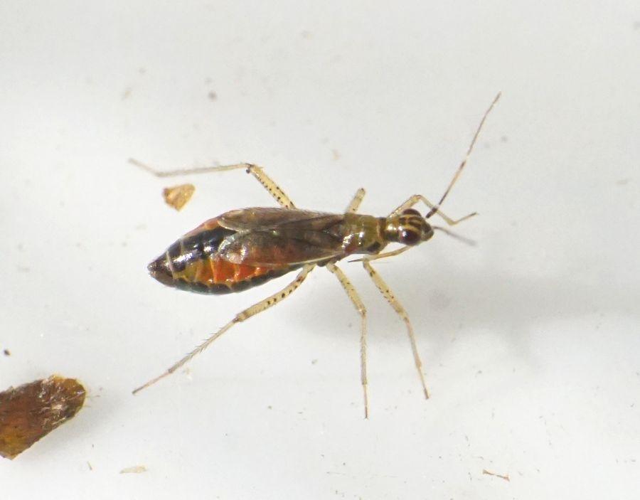 Dicyphus stachydis (Dicyphus stachydis)