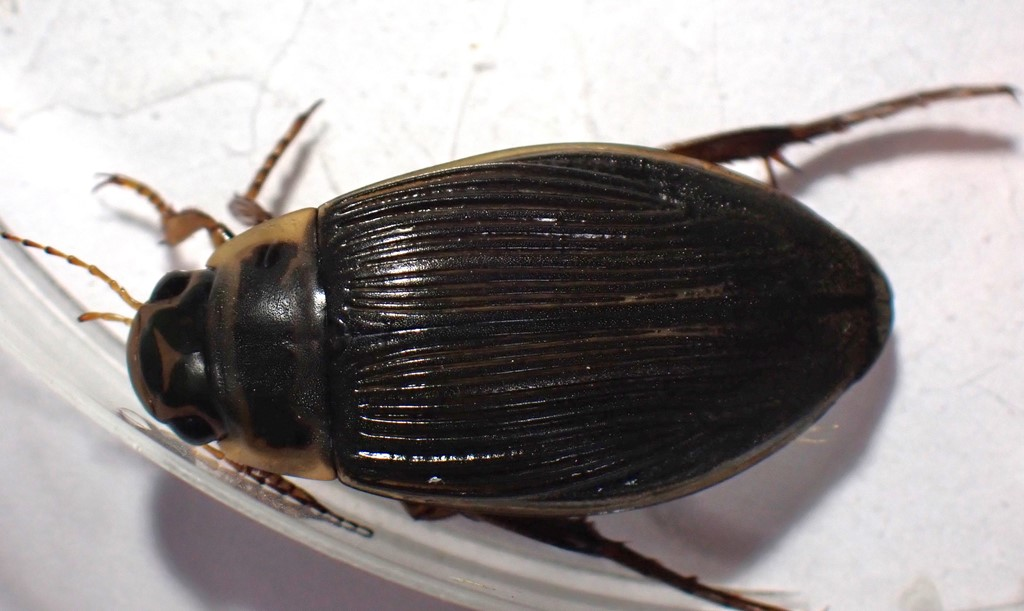Hedevandkalv (Dytiscus lapponicus)