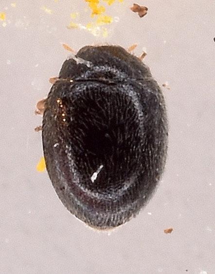 Foto/billede af Stethorus pusillus (Stethorus pusillus)