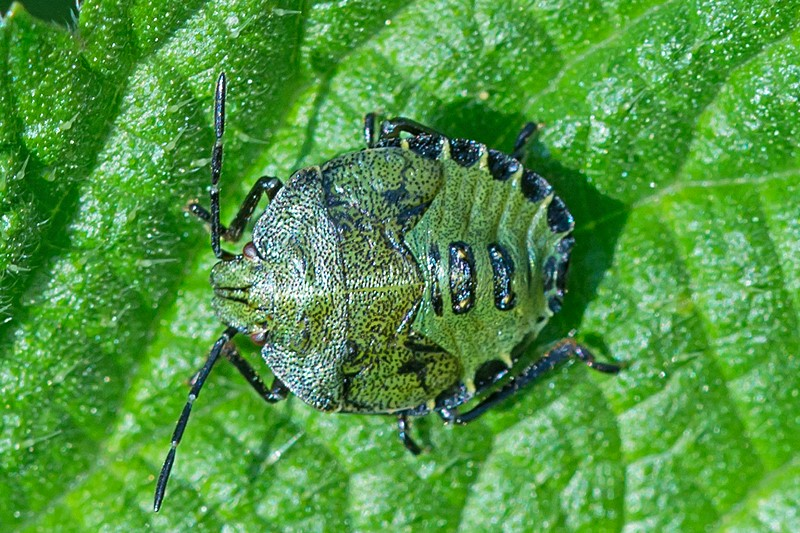 Grøn Bredtæge (Palomena prasina)