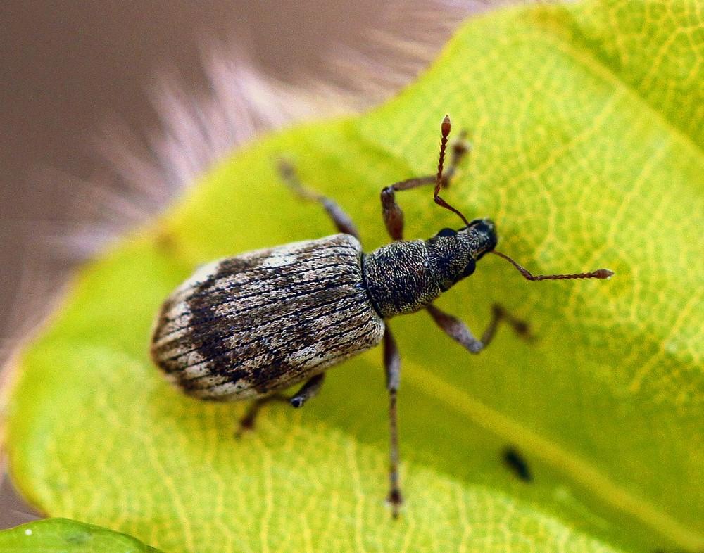 Foto/billede af Polydrusus tereticollis (Polydrusus tereticollis)