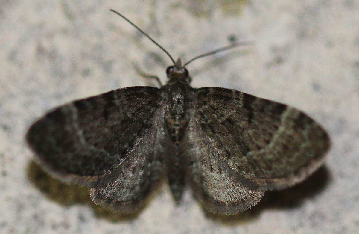 Foto/billede af Slåenblomstmåler (Pasiphila chloerata)