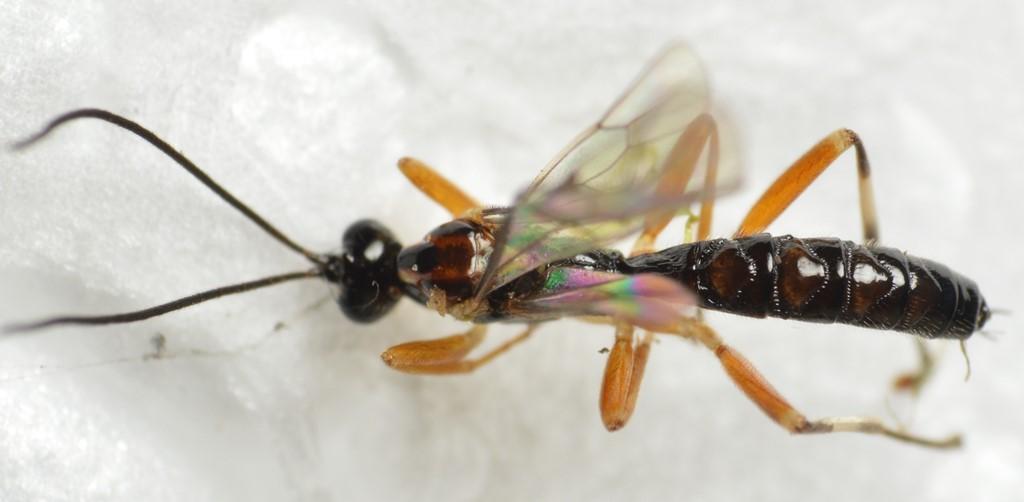 Zatypota albicoxa