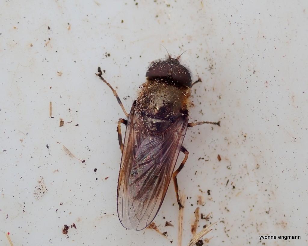 Grøn Urtesvirreflue (Cheilosia chloris)