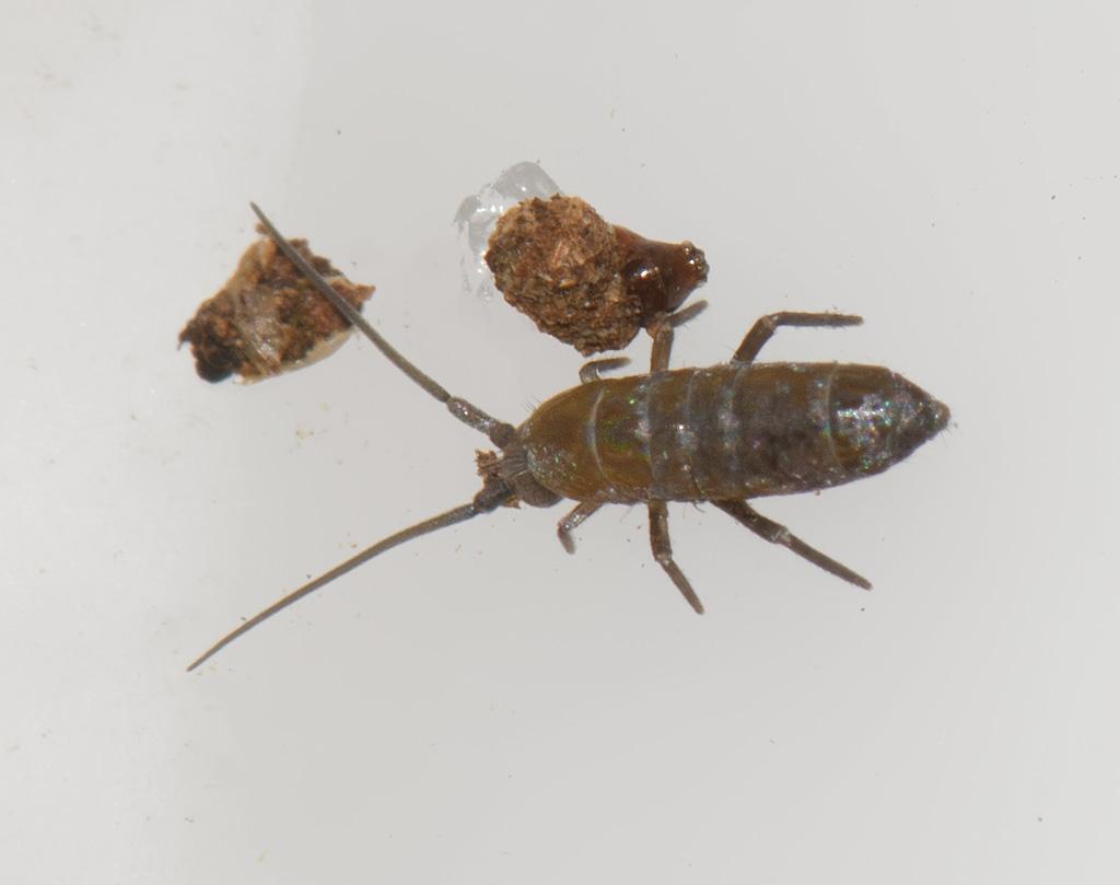 Foto/billede af Tomoceridae g. sp. (Tomoceridae g. sp.)
