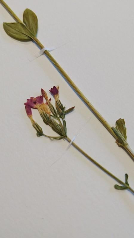 Foto/billede af Mark-Tusindgylden (Centaurium erythraea var. erythraea)