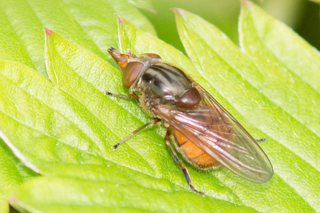 Mark-Snabelsvirreflue (Rhingia campestris)