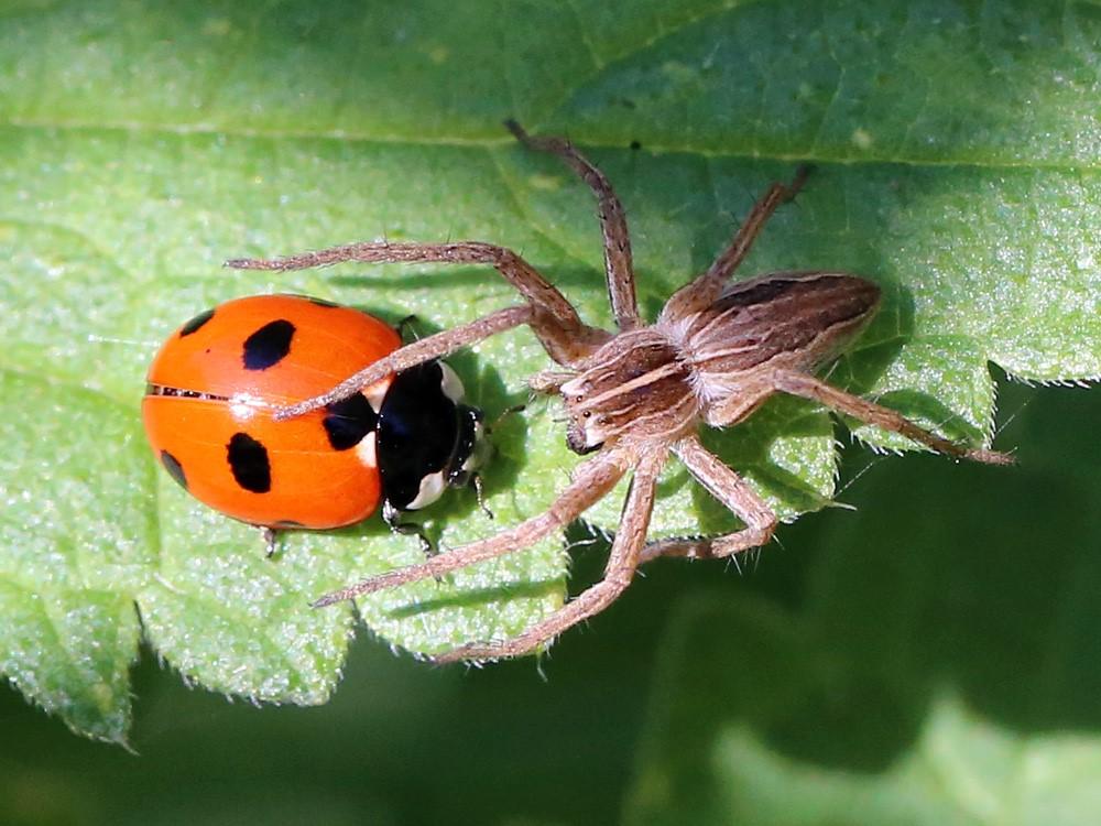 Foto/billede af Almindelig Rovedderkop (Pisaura mirabilis)