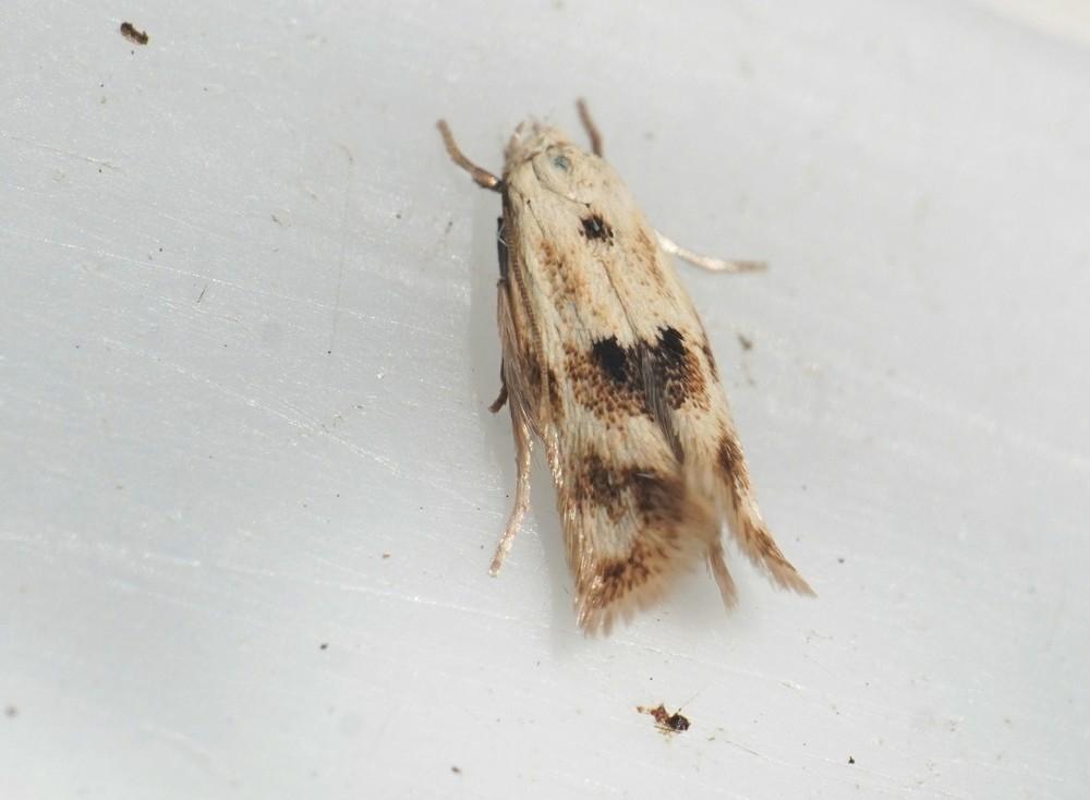 Elachista maculicerusella (Elachista maculicerusella)