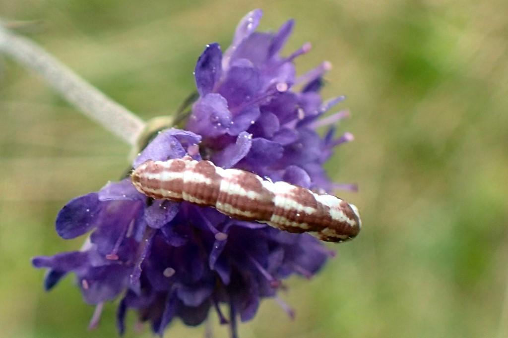 Foto/billede af Hvid Dværgmåler (Eupithecia centaureata)