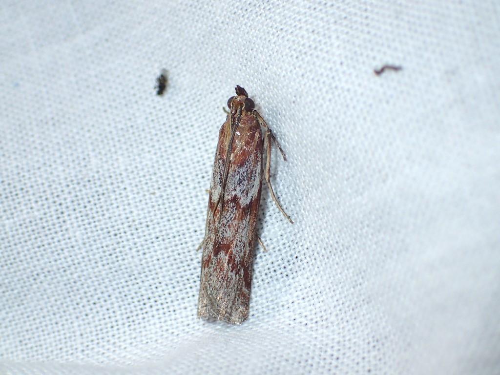 Kastaniebrunt Halvmøl (Selagia spadicella)