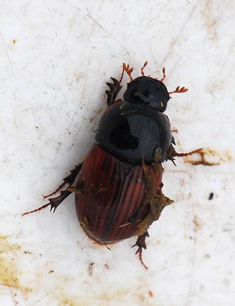 Foto/billede af Lakrød Møgbille sp. (Aphodius fimetarius/pedellus)