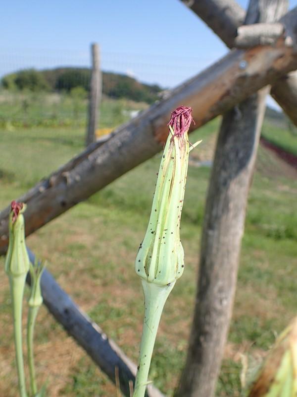Havrerod (Tragopogon porrifolius)