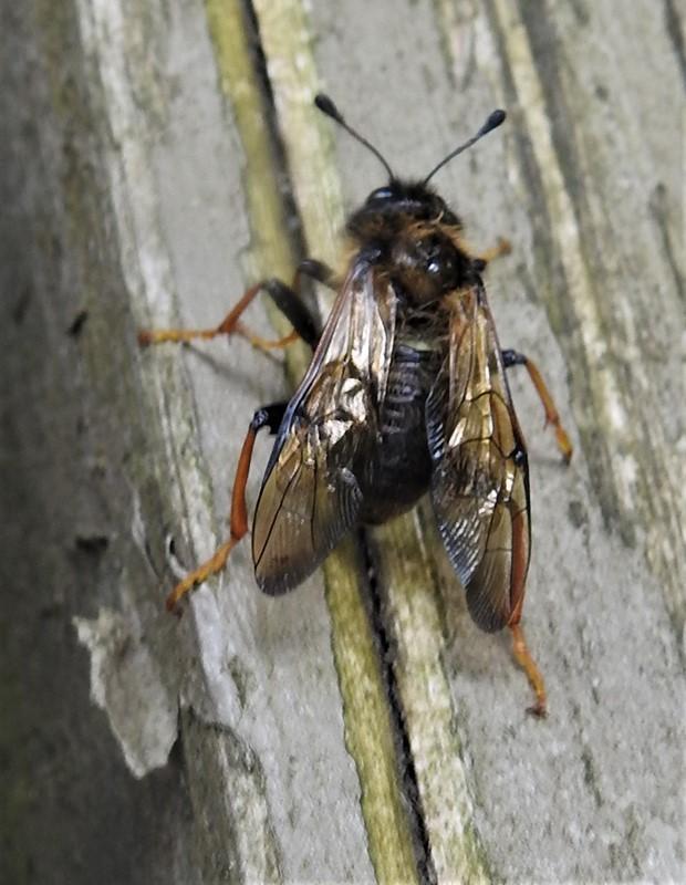 Trichiosoma sp.