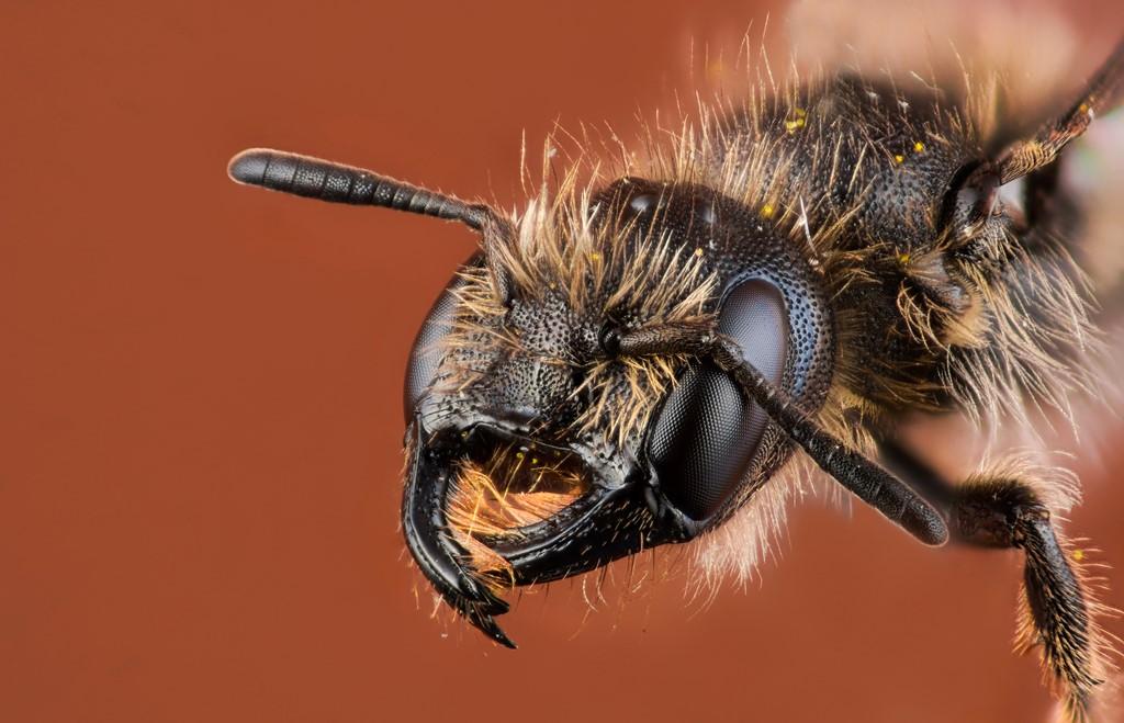Foto/billede af Ranunkelsaksebi (Chelostoma florisomne)