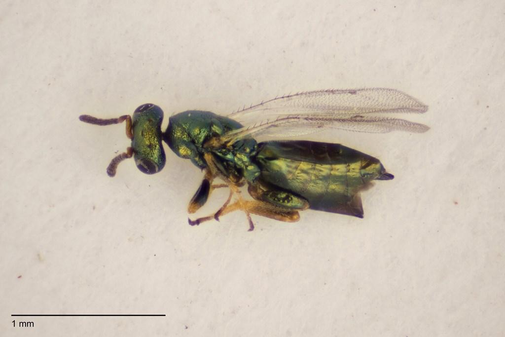 Psilonotus achaeus