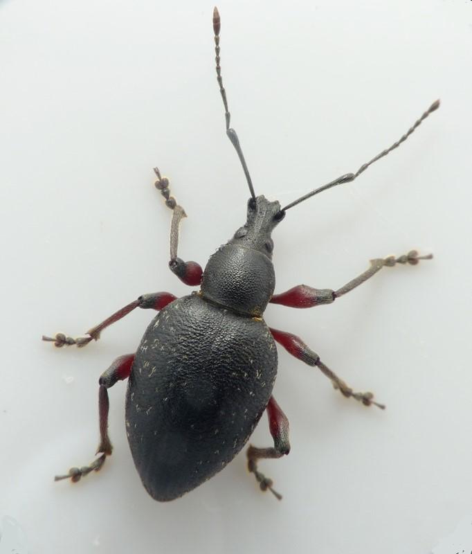 Otiorhynchus clavipes (Otiorhynchus clavipes)