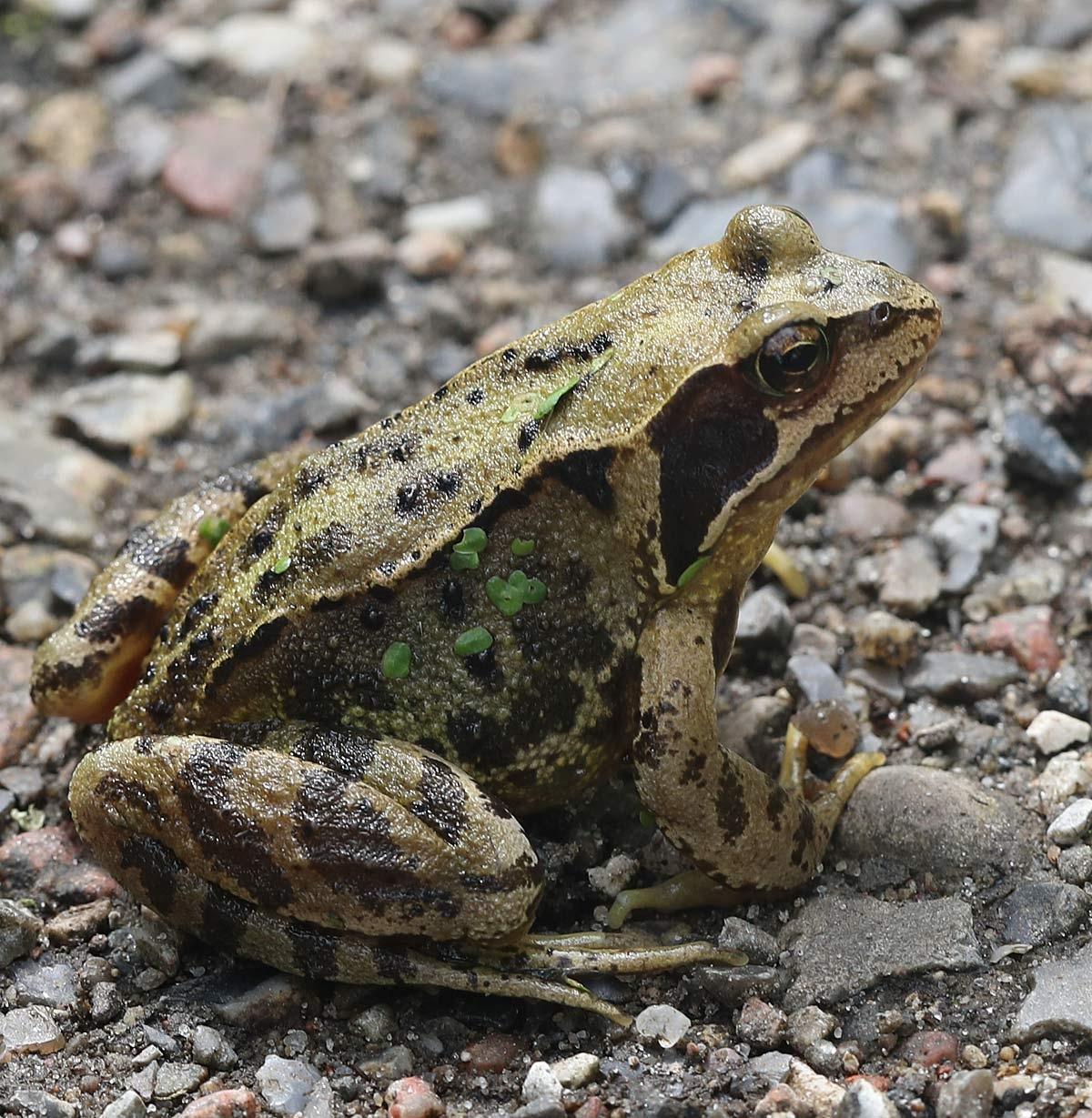 Foto/billede af Butsnudet Frø (Rana temporaria)