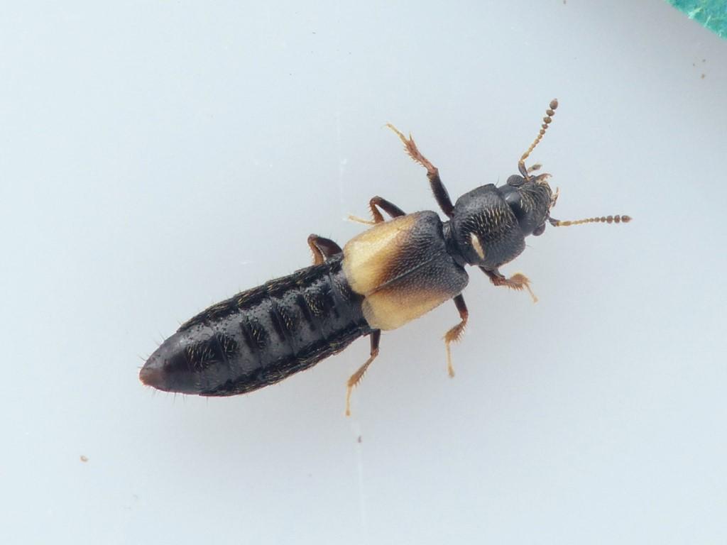 Bledius fergussoni