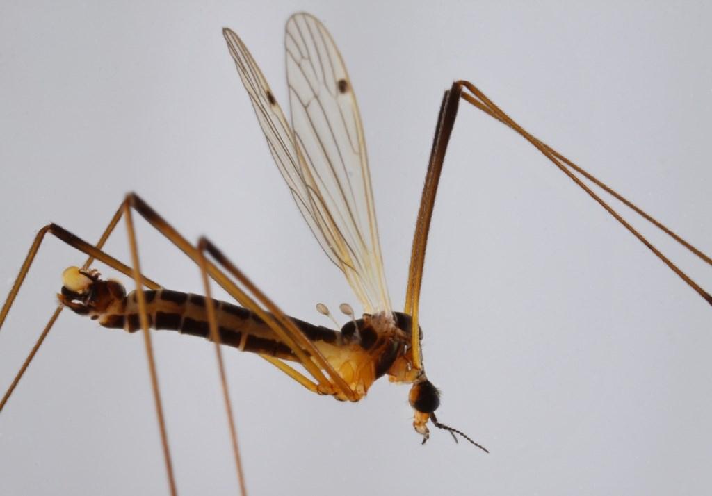 Dicranomyia melleicauda